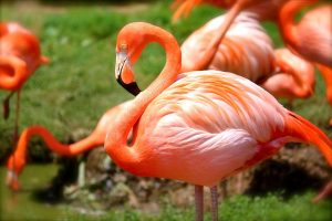 descriptive-text-flamingo